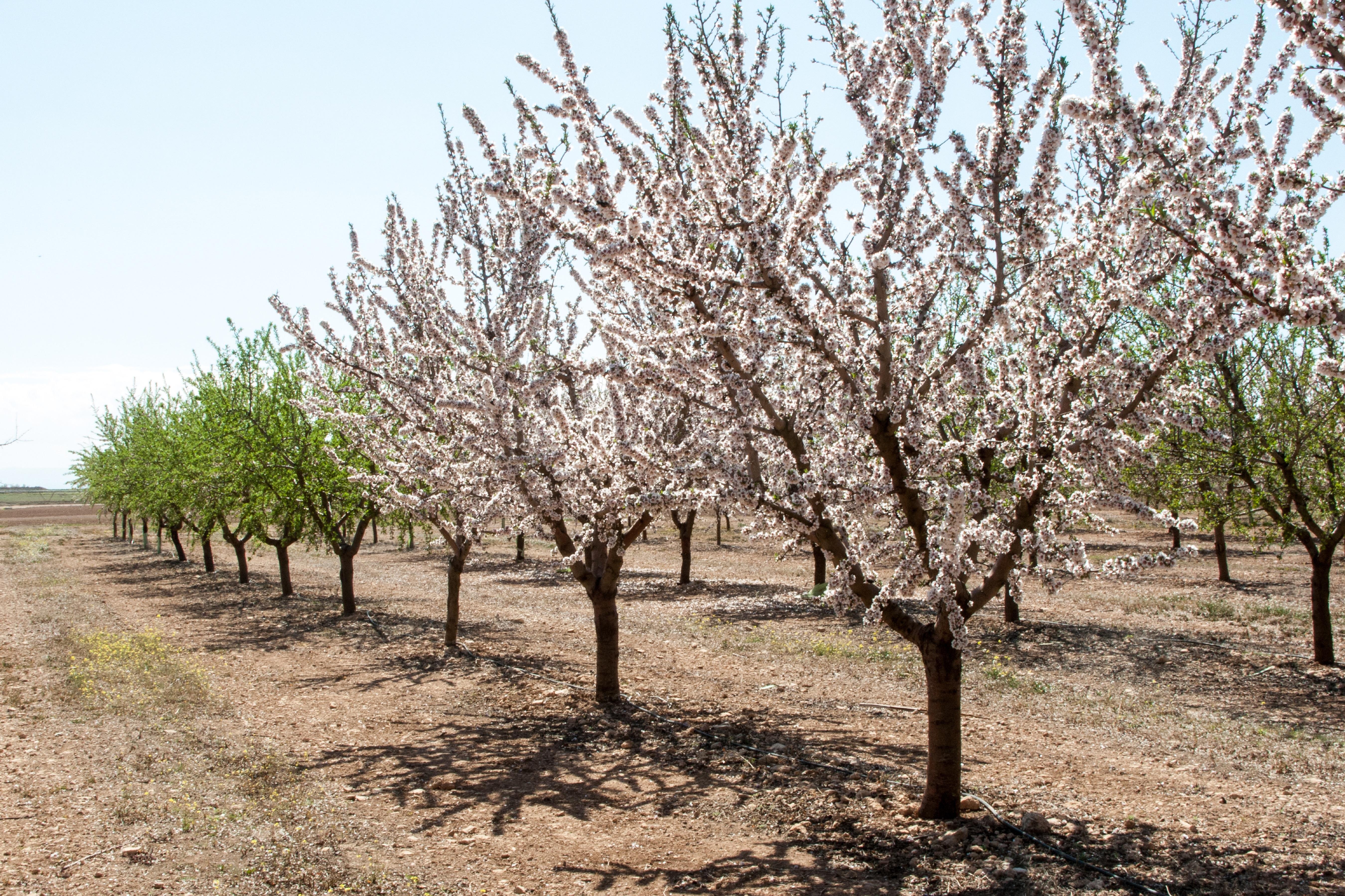 Mandellund i Spanien. Her ses mandeltræer, der blomstrer tidligt og sent. Det er den sene blomstring, der er ønsket, så der er mindre risiko for at frost ødelægger blomsterne og dermed høsten.