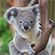 Read more about: FILM: Koalas and Eucalyptus